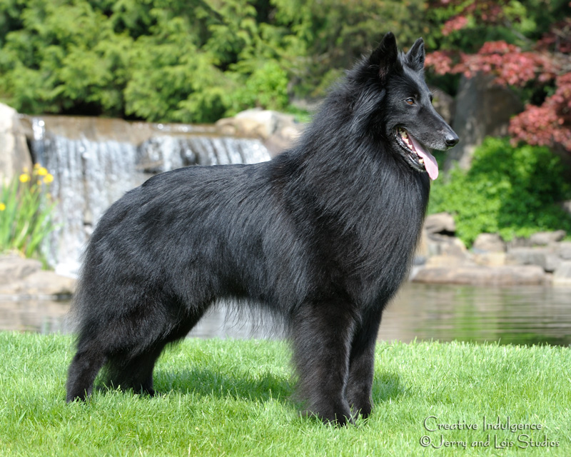 Belgian Sheepdog Champion