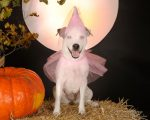 ver the princess, lovely Bonnie Bell the Jack Russell Terrier loves Halloween.
