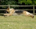 Flying German Shepherd
