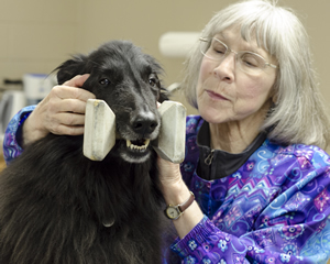 Schaefer probes the jaw muscles of Tory, a Belgan sheepdog, for spasms and tone. The dog, owned by Lang, had been experiencing trouble holding his dumbbell in competition