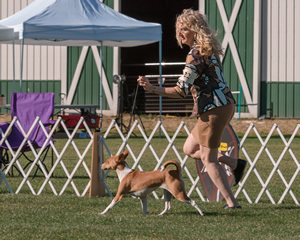 Campbell and Naziki are right in sync  at the Basenji Club of America National Specialty in Auburn this summer.