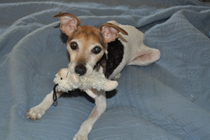 "The playful Jack Russell Terrier is saying, ""Don't think about taking this away from me."""