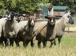 Maggie's first visit to Ewe-topia included an open-field assignment to herd these big creatures together and and bring back any escape artist to the flock.