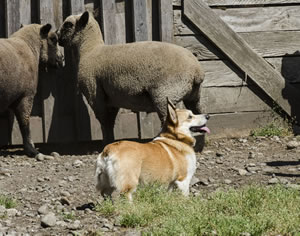 "The Pembroke Welsh Corgi seems to be asking: ""What do you want me to do now?"""