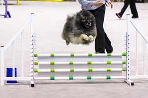 The action-packed and challenging agility ring is always a popular draw with crowd goers.