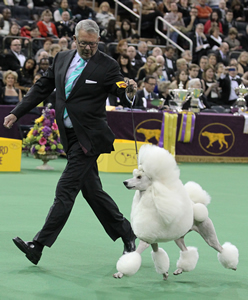 Tim Brazier guides Ally about the best-in-show ring at Madison Square Garden Feb. 11. The two earned a coveted Reserve Best in Show at the Westminster Kennel Club Dog Show that evening.