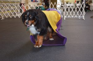 Loki, Timbers' Bernese Mountain Dog, emerges from a chute during an agility practice sessions at Family Dog Training Center in Kent.