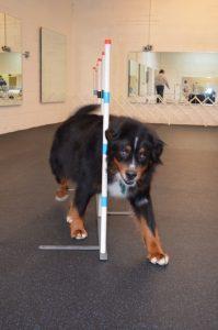 Loki smoothly maneuvers through the agility weave poles.