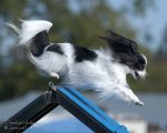 MACH 32 Tigger the Papillion does know how to fly.