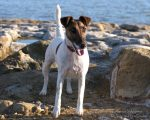 Tori (Smooth Fox Terrier)