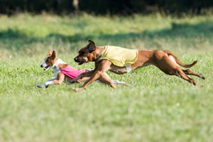 Chief, left, a basenji, owned by Katie Campbell, of Seattle, runs stride-for-stride with a Rhodesian Ridgeback in a best-in-field match-up at the American Kennel Club National Lure Coursing Championships in North Bend in September.