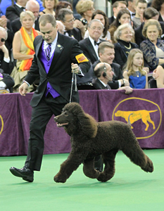 Krieger and Riley, the winningest Irish water spaniel in history, are on their game under the bright lights at Madison Square Garden.