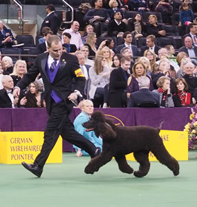 Handler Rick Krieger, of Charlton, Mass., guides Riley through the Sporting-group ring at Westminster in February.