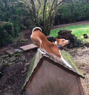 Naziki likes the view from the roof of her West Seattle doghouse. The surroundings are not quite the same as her native Africa but she has adapted nicely.