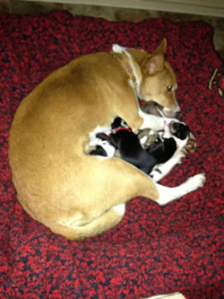 """The native Basenji was the """"best mother I have had in all my years of breeding,"""" says owner-breeder-handler Katie Campbell, of Seattle."""
