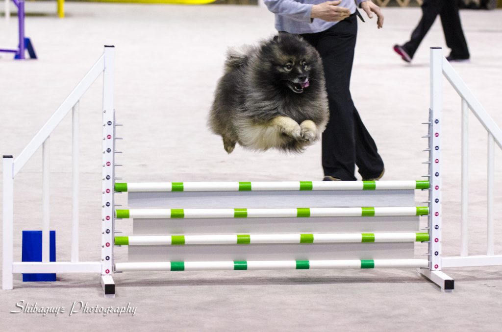 Shibaguyz Photography Keeshond Running agility at The Seattle Kennel Club 2014 Show