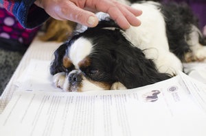 This Cavalier King Charles spaniel takes a break in a club educational booth at the Seattle Kennel Club's March shows.