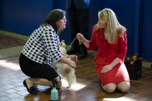 Lauren Rowe, of Ireland, right, and her Tacoma host Tammie Wilcox, longtime professional dog handler, take a break with Calvin Gold, the No. 1 long-coat Chihuahua (2014 all-breed standings), at the Westminster Kennel Club Dog Show in February.