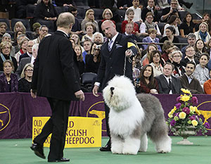 Dougherty looks over Swagger, a 90-pound Old English Sheepdog, in the Westminster best-in-show ring as owner-handler Colton Johnson, of Colorado Springs, Colo., looks on.