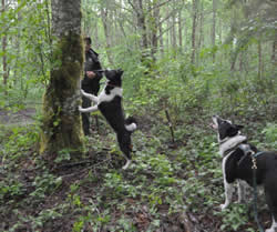 While a bear is treed, Karelian Bear Dog Indy is outstretched at the base of the tree and KBD Mishka stands alongside barking.